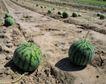 收获季节0062,收获季节,农业,西瓜 瓜地