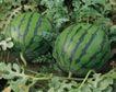收获季节0082,收获季节,农业,