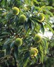 收获季节0096,收获季节,农业,板栗 果子 果树
