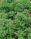 收获季节0097,收获季节,农业,菜地 青蔬 农业