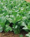 收获季节0099,收获季节,农业,青菜 小菜 蔬菜