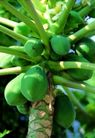 日常蔬菜0096,日常蔬菜,农业,果实 果树