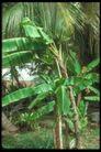 植物世界0097,植物世界,农业,芭蕉叶 农作物
