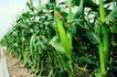 粮食蔬菜0019,粮食蔬菜,农业,