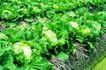 粮食蔬菜0028,粮食蔬菜,农业,