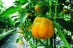 粮食蔬菜0047,粮食蔬菜,农业,