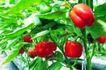 粮食蔬菜0048,粮食蔬菜,农业,