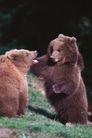 动物百科0046,动物百科,动物,两只熊