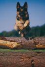 动物百科0048,动物百科,动物,狼狗 木头