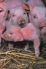 动物百科0055,动物百科,动物,猪仔