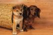 小动物世界0162,小动物世界,动物,家犬