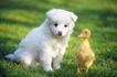 小动物世界0177,小动物世界,动物,小鸡 幼崽