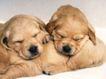 小动物世界0181,小动物世界,动物,睡觉 赖皮狗