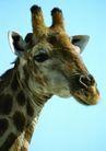 狂猛之兽0056,狂猛之兽,动物,长颈鹿
