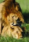 狂猛之兽0058,狂猛之兽,动物,狮子