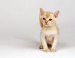宠物猫0015,宠物猫,动物,