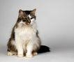 宠物猫0016,宠物猫,动物,