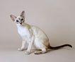 宠物猫0017,宠物猫,动物,
