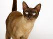 宠物猫0018,宠物猫,动物,