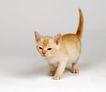 宠物猫0020,宠物猫,动物,