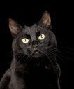 宠物猫0023,宠物猫,动物,