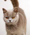 宠物猫0025,宠物猫,动物,