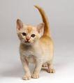 宠物猫0026,宠物猫,动物,
