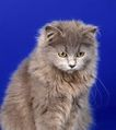 宠物猫0027,宠物猫,动物,