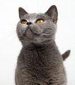 宠物猫0029,宠物猫,动物,