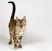 宠物猫0031,宠物猫,动物,