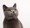 宠物猫0036,宠物猫,动物,
