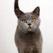 宠物猫0037,宠物猫,动物,
