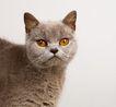宠物猫0039,宠物猫,动物,