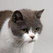 宠物猫0041,宠物猫,动物,