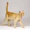 宠物猫0042,宠物猫,动物,