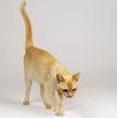 宠物猫0043,宠物猫,动物,