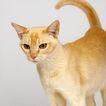宠物猫0044,宠物猫,动物,