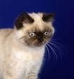 宠物猫0045,宠物猫,动物,
