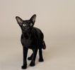 宠物猫0047,宠物猫,动物,