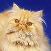 宠物猫0050,宠物猫,动物,