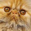 宠物猫0051,宠物猫,动物,