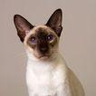 宠物猫0052,宠物猫,动物,
