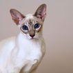 宠物猫0053,宠物猫,动物,