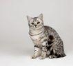 宠物猫0054,宠物猫,动物,