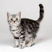 宠物猫0055,宠物猫,动物,