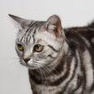 宠物猫0056,宠物猫,动物,