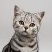 宠物猫0057,宠物猫,动物,