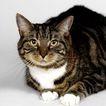 宠物猫0059,宠物猫,动物,