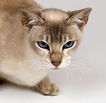 宠物猫0060,宠物猫,动物,