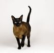 宠物猫0061,宠物猫,动物,